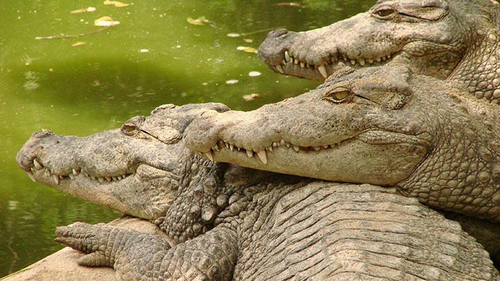 crocs guarding drug money