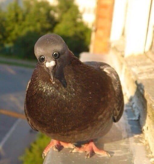 pigeon eyes front