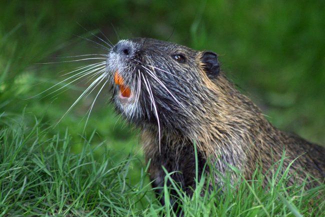 giant-beaver-attack
