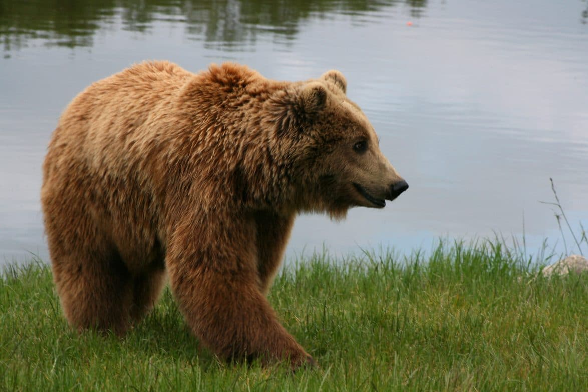 Watch unarmed man repel brown bear attack