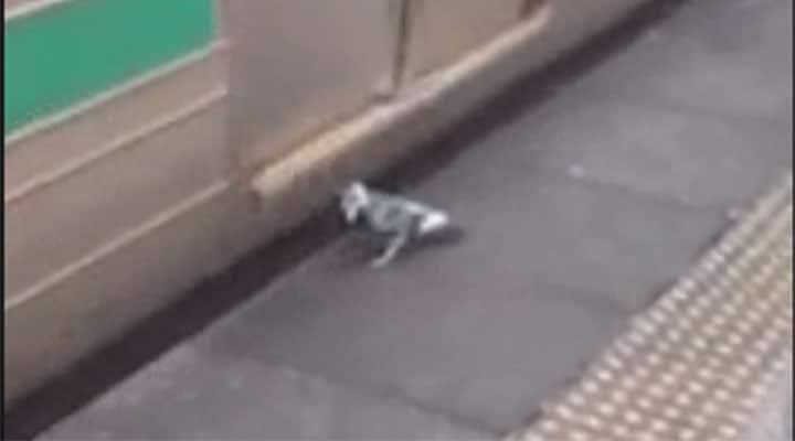 pigeon using train