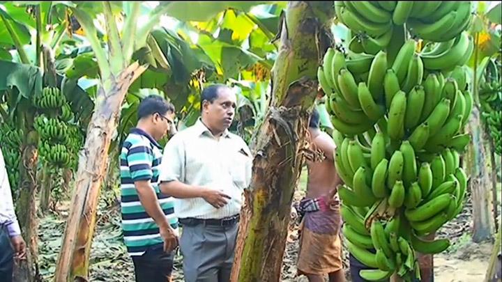 banana farm