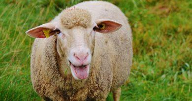 stoned sheep
